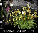 -oncidium-hastatum-question-1.jpg