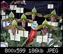 Paphiopedilum sukhakulii x 2-paphiopedilum-sukhakulii-1.jpg