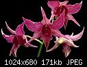 Golden Gate Orchids - Dendrobium Lavender Star - lovely burgundy flowers-dendrobium-lavender-star.jpg