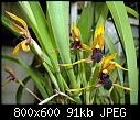 -maxillaria-cucullata-1.jpg