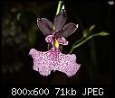 Oncidium cucculata 2-oncidium-cucculata-2.jpg