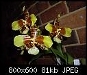 -rossioglossum-williamsianum-1.jpg