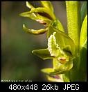 -prasophyllum_flavum_sherbrooke061216-4696.jpg