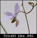 Barkeria whartonianum-barkeria-whartonianum-303a100-00098.jpg