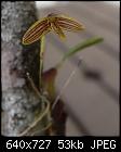 Bulbophyllum johnsonii-blb-jhnsni-01.jpg