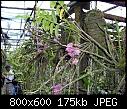 -dendrobium-bracteosum-pink-1.jpg