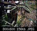 -malleola-sp-aff-insectifera-1.jpg