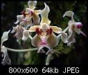 -paraphalaenopsis-denevei.jpg