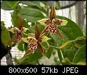 -lemboglossum-maculatum-600.jpg