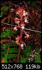 -corallorhiza-maculata.jpg