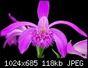 -pleione-species-2.jpg