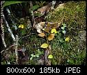 -bulbophyllum-catenarium-1-per-ansow-gunsalem.jpg