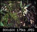 -bulbophyllum-sopoetanense-1a.jpg