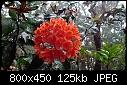 -rhododendron-fallacinum.jpg