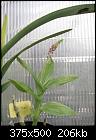 -malaxis-latifolia.jpg