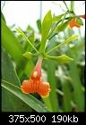 -epidendrum-pseudepidendrum-bloem.jpg