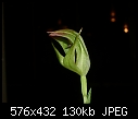 -pterostylis-stricta-side.jpg