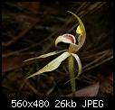 -arachnorchis_tessellata_orbost071103-5035.jpg