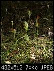 -pterostylis_baptistii_orbost071105-5473.jpg