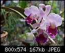 Cattleya labiata-c.-labiata-sherwood-dsc01485.jpg