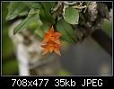 Another shot of Sophronitis cernua-sophronitis-cernua-1622-01572.jpg