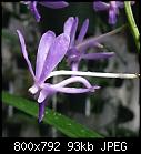 Neofinetia falcata.'Icy Fingers' X V 'Sally Roth x3-n.f.icy-fingers-x-v-sally-roth2.jpg