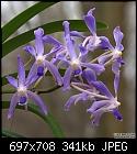 Neofinetia falcata.'Icy Fingers' X V 'Sally Roth x3-n_falcata_x_v_sally_roth_flowers.jpg
