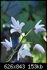 -den-kingianum-alba-953-01842.jpg