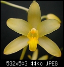 Ansellia africana 'Yellow Fountain'-yellowfountain0408.jpg