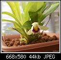 Cochleanthes x Pescatorea-coch-discolor-x-pes-paintedlady-pc02311.jpg