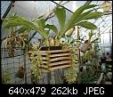 Clowesia russelliana-clowesia-russelliana-898-02375a.jpg