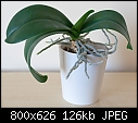 Orchid give away - because of moving-orchid2.jpg