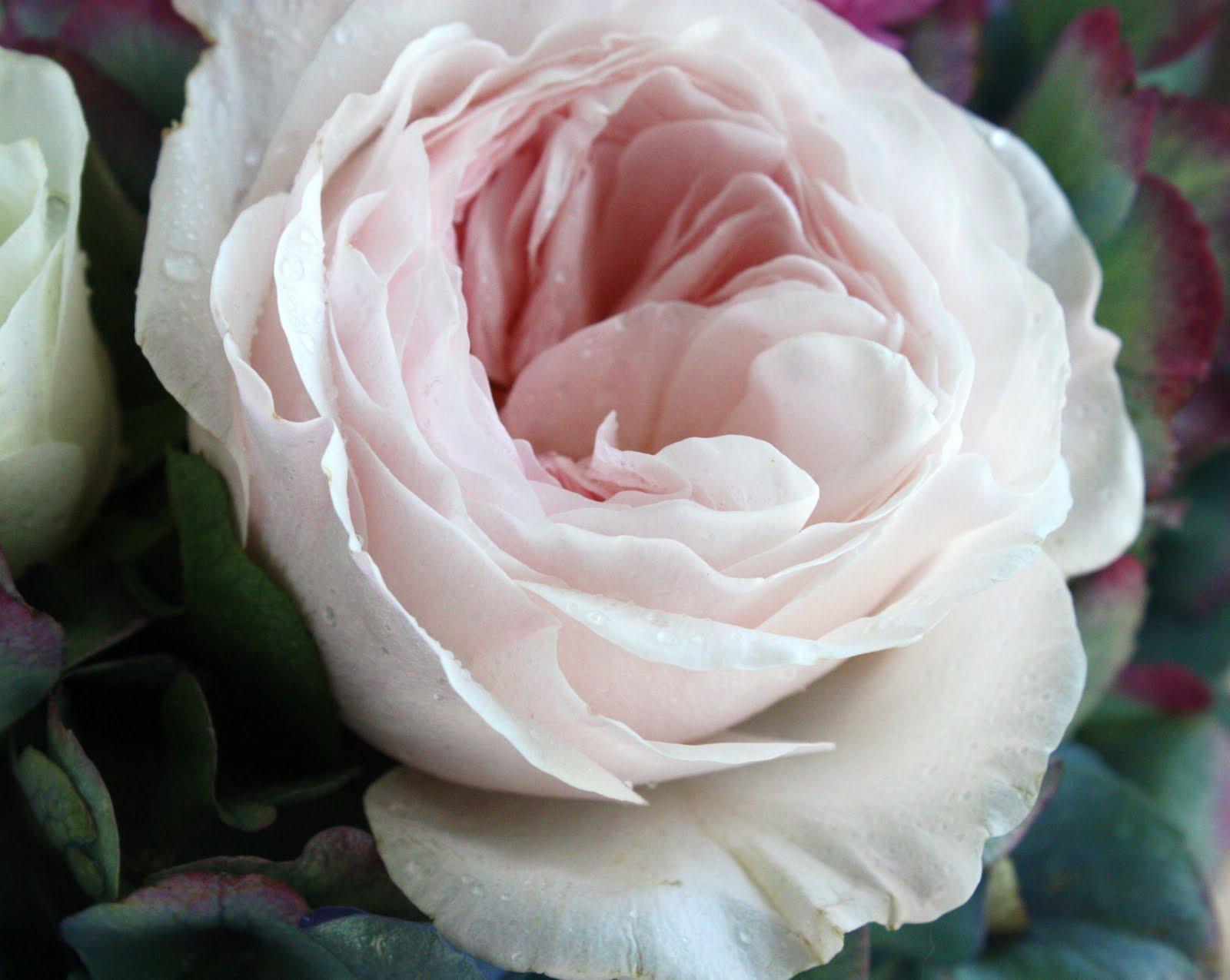 garden rose detail garden rosejpg - Garden Rose