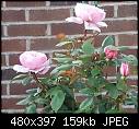 standard roses-brothercadfael2013.jpg