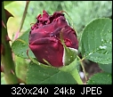Black Prince Rose - Buds not opening-fullsizerender-8.jpeg
