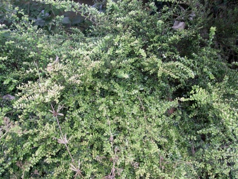 Help to id garden shrub for Landscape bush identification