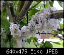 White fluff on apple tree-apple-fuzz-008.jpg