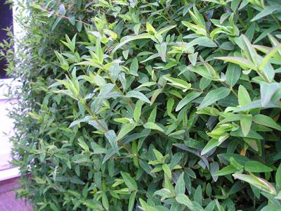 Garden Shrubs Identification,landscape Nursery Bunnell Fl,rock Garden Lino  Lakes Mn   Plans On 2016