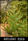 conifer hedge turning brown problem-dsc00311%5B1%5D.jpg