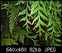 conifer hedge turning brown problem-dsc00317_2.jpg